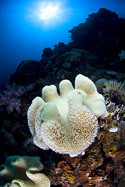 Soft leather coral, Sarcophyton sp., bleaching.  This soft coral has lost its symbiotic algae, zooxanthellae, and turned white due to high water temperatures.  Buyat Bay, North Sulawesi, Indonesia, Pacific Ocean.