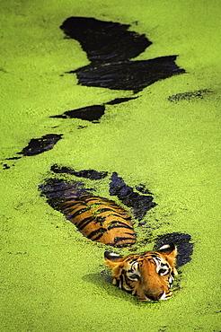 Royal Bengal Tiger Swimming, India