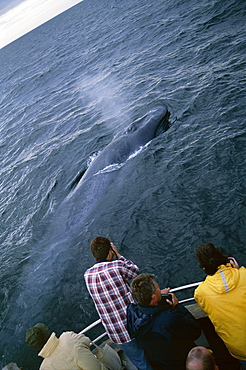 Whale-watchers photographing a Blue whale (Balaenoptera musculus) as it surfaces close by with the blow visible. Husavik, Iceland
