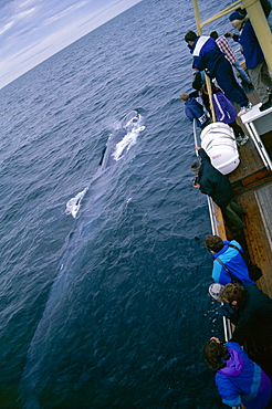 Whale-watchers leaning over a Fin whale (Balaenoptera physalus) as it surfaces (2 of 2 images). Husavik, Iceland