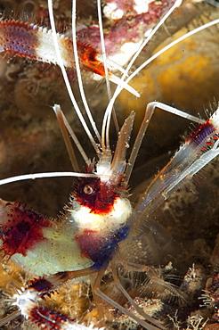 Cleaner shrimp (Stenopus hispidus), Sulawesi, Indonesia, Southeast Asia, Asia