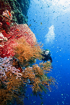 Diver swimming along a wall at Bunaken, Sulawesi, Indonesia, Southeast Asia, Asia