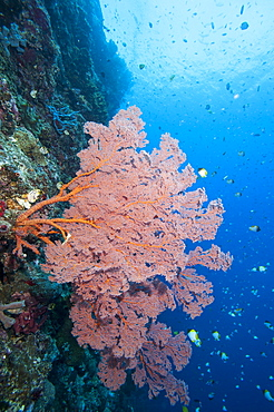 Sea fan (Acabaria), Sulawesi, Indonesia, Southeast Asia, Asia