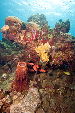 Reef scene with soldier fish, Dominica, West Indies, Caribbean, Central America
