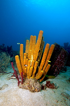 Yellow tube sponge (Aplysina fistularis), Dominica, West Indies, Caribbean, Central America