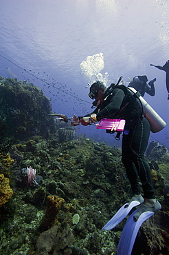 Dive guide culling Pacific lionfish which have infested the Caribbean, Dominica, West Indies, Caribbean, Central America