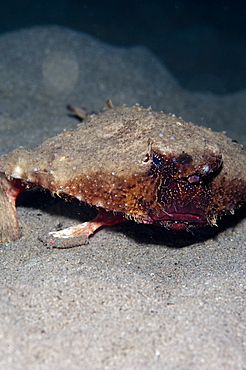 A rare rough back walking batfish (Ogcocephalus parvas) that usually lives at depth to 300m, Dominica, West Indies, Caribbean, Central America