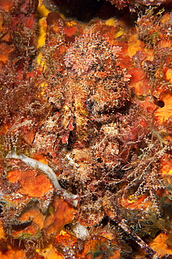 Very well camouflaged plumed scorpionfish (Scorpaena grandicornis), Dominica, West Indies, Caribbean, Central America