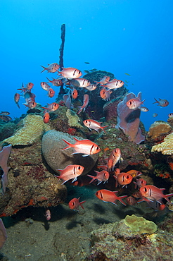 School of blackbar soldierfish (Myripristis jacobus), Dominica, West Indies, Caribbean, Central America
