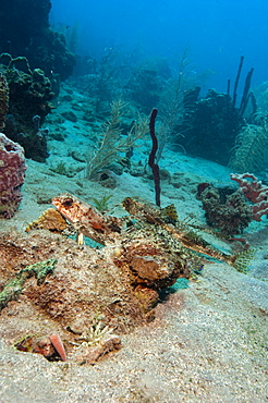 Flying gurnard (Dactylopterus volitans), one male and one female, Dominica, West Indies, Caribbean, Central America