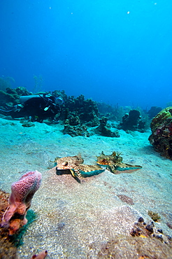 Flying gurnard (Dactylopterus volitans), one male and one female, Dominica, West Indies, Caribbean, Central America - 1103-414