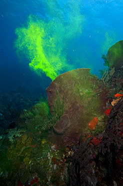 Giant sponge showing how it filters water with the use of dye, Dominica, West Indies, Caribbean, Central America