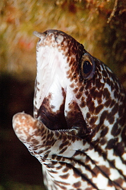 Spotted moray eel (Gymnothorax moringa), Dominica, West Indies, Caribbean, Central America