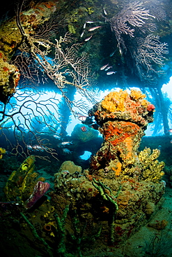 Coral growth inside the wreck of the Lesleen M freighter, sunk as an artificial reef in 1985 in Anse Cochon Bay, St. Lucia, West Indies, Caribbean, Central America