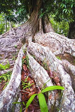 Twisted roots of an old tree, Kandy Royal Botanical Gardens, Peradeniya, Kandy, Sri Lanka, Asia