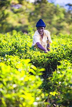 Ceylon tea plantation, a tea picker picking tea in the Sri Lanka Central Highlands and Tea Country, Sri Lanka, Asia