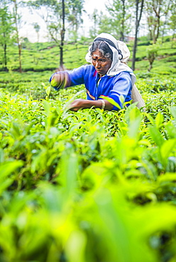 Tea picker plucking tea in a tea plantation in the Sri Lanka Central Highlands and Tea Country, Sri Lanka, Asia