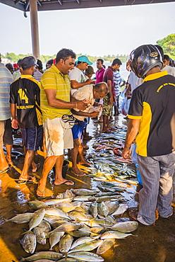 Fish for sale at Negombo fish market (Lellama fish market), Negombo, West Coast, Sri Lanka, Asia