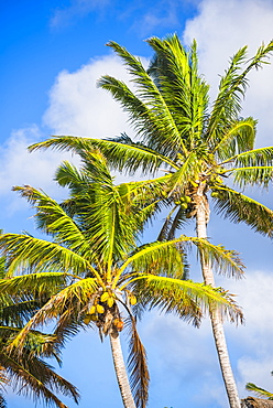 Palm tree, Muri, Rarotonga, Cook Islands, South Pacific, Pacific