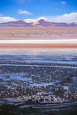 Flamingos at Laguna Colorada (Red Lagoon), a salt lake in the Altiplano of Bolivia in Eduardo Avaroa Andean Fauna National Reserve, Bolivia, South America