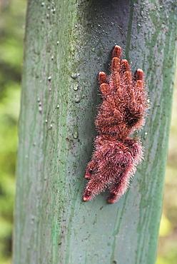 Tarantula, Amazon Rainforest, Coca, Ecuador, South America
