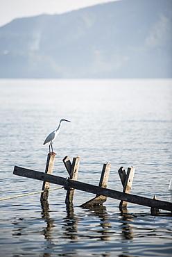 White heron, Lake Toba (Danau Toba), North Sumatra, Indonesia, Southeast Asia, Asia
