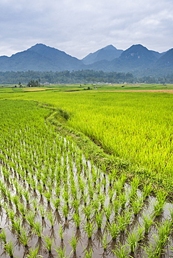 Rice paddy fields, Bukittinggi, West Sumatra, Indonesia, Southeast Asia, Asia