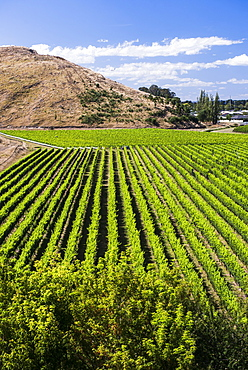 Vineyards at Mission Estate Winery, Napier, Hawkes Bay Region, North Island, New Zealand, Pacific