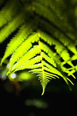 Fern in the tropical rainforest surrounding Pupu Springs (Te Waikoropupu Springs), Golden Bay, Tasman Region, South Island, New Zealand, Pacific