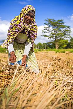 Portrait of an old Sri Lankan woman working in a wheat field just outside Dambulla, Central Province, Sri Lanka, Asia
