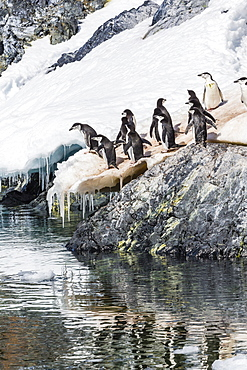 Adult chinstrap penguins (Pygoscelis antarctica), Cuverville Island, Antarctica, Southern Ocean, Polar Regions