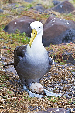 Adult waved albatross (Diomedea irrorata) with single egg, Espanola Island, Galapagos Islands, Ecuador, South America