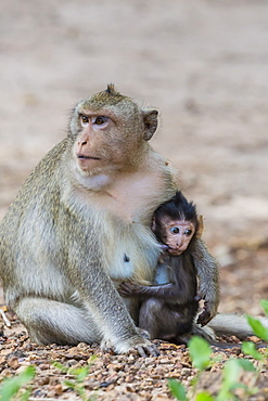 Young long-tailed macaque (Macaca fascicularis) nursing from its mother in Angkor Thom, Siem Reap, Cambodia, Indochina, Southeast Asia, Asia