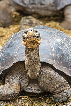 Captive Galapagos giant tortoise (Chelonoidis nigra) at the Charles Darwin Research Station on Santa Cruz Island, Galapagos Islands, Ecuador, South America
