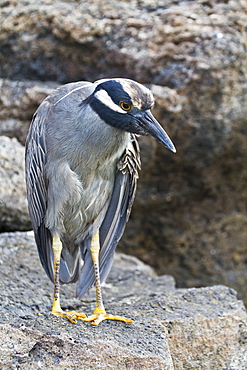 Adult yellow-crowned night heron (Nyctanassa violacea), Genovesa Island, Galapagos Islands, Ecuador, South America