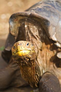 Captive Galapagos giant tortoise (Geochelone elephantopus), Charles Darwin Research Station, Galapagos Islands, UNESCO World Heritge Site, Ecuador, South America