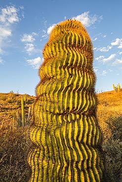 Endemic giant barrel cactus (Ferocactus diguetii) on Isla Santa Catalina, Baja California Sur, Mexico, North America