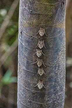 Adult proboscis bats (Rhynchonycteris naso) on tree in Yanallpa Caño, Ucayali River, Loreto, Peru, South America