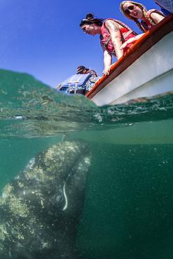California gray whale calf (Eschrichtius robustus), underwater with tourists in San Ignacio Lagoon, Baja California Sur, Mexico, North America
