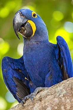 An adult hyacinth macaw (Anodorhynchus hyacinthinus), Porto Jofre, Mato Grosso, Brazil, South America
