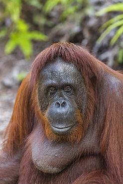 Female Bornean orangutan (Pongo pygmaeus) at Camp Leakey, Borneo, Indonesia, Southeast Asia, Asia
