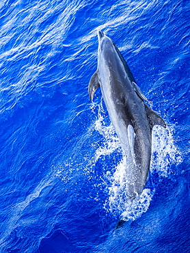 Adult bottlenose dolphin (Tursiops truncatus) with remoras attached in Roroia, Tuamotus, French Polynesia, South Pacific, Pacific