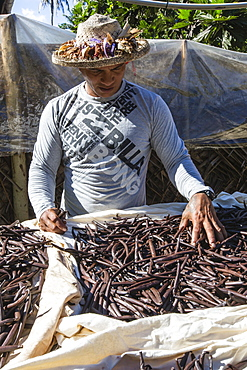 Vanilla beans from the Vallee de la Vanille plantation being sorted on Taha'a, Society Islands, French Polynesia, South Pacific, Pacific