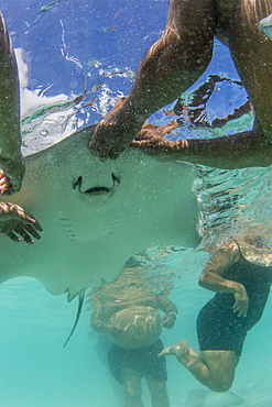 Giant stingray (Dasyatis spp), being fed by local guide in the shallow waters of Stingray City, Society Islands, French Polynesia, South Pacific, Pacific