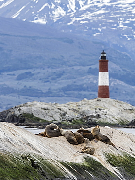 South American sea lions, Otaria flavescens, on a small islet in the Beagle Channel, Ushuaia, Argentina, South America