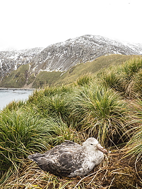 Adult northern giant petrel, Macronectes halli, on nest in tussock grass at Elsehul, South Georgia Island, Atlantic Ocean