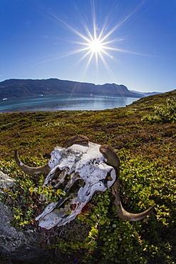 Muskox (Ovibos moschatus) skull, Halvo, Northeast Greenland, Polar Regions
