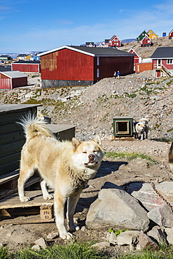 Inuit village and sled dog house, Ittoqqortoormiit, Scoresbysund, Northeast Greenland, Polar Regions