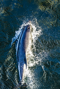 Adult Peale's dolphin (Lagenorhynchus australis) bow-riding, New Island, Falkland Islands, South Atlantic Ocean, South America