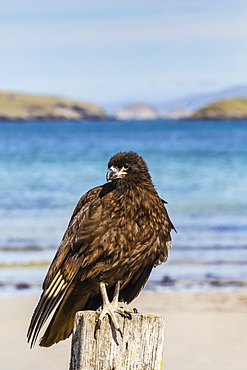 Striated caracara (Phalcoboenus australis), Carcass Island, Falkland Islands, South Atlantic Ocean, South America
